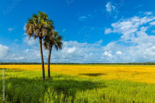 Field of Tickseed wildflowers in Myakka River State Park, Sarasota Florida Canvas Print