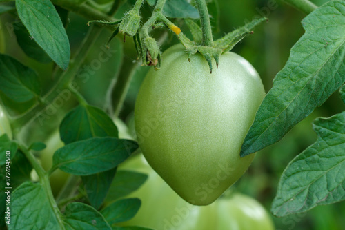 Photo Unripe green tomato growing on bush in the garden.