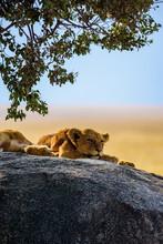 Group Of Young Lions Lying On Rocks - Beautiful Scenery Of Savanna At Sunset. Wildlife Safari In Serengeti National Park, Masai Mara, Tanzania, Africa