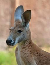 Kangaroo Close Up Photo