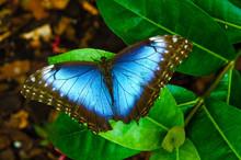 Mariposa Morpho Peleides