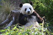 Giant Panda Bear Sitting To Ea...