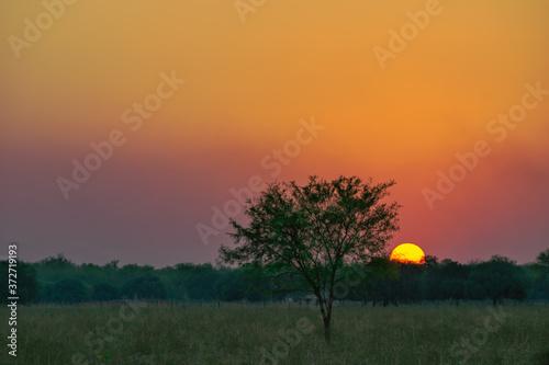 Fotografía pequeño árbol de algarrobo con el sol gigante detrás