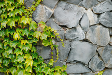 Green Plants On A Stone Wall, Green Plants, Can Be Used As Wallpaper Or Background