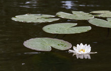 Water Lilies, A White Flower With Large Leaves Floating On The Surface Of The Water.