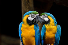Kissing Parrot Birds, Blue And Gold Macaw Teasing Each Other While In Love Moment