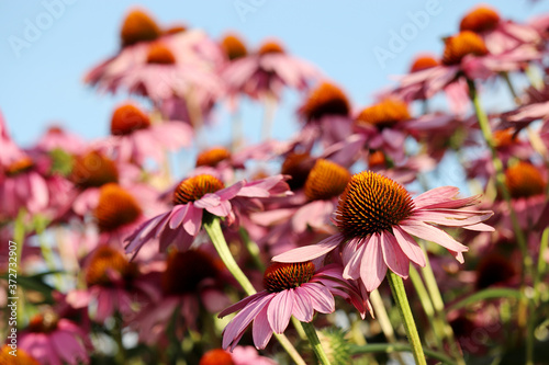 Rudbeckia flowers in summer against blue sky, colorful floral background Canvas