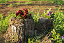 Crimson Pansy Flowers Grow In Rotten Tree Stump In The Summer Against A Background Of Green Grass