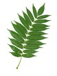 canvas print picture - green leaf of sumac tree isolated close up