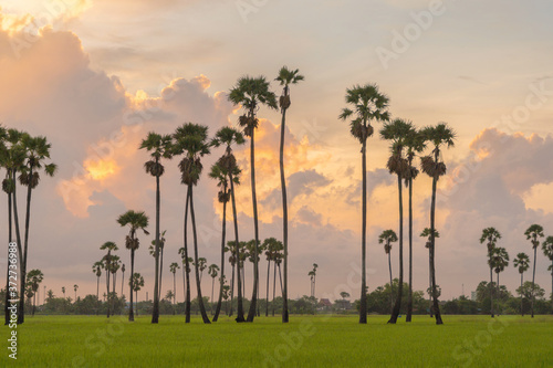 Foto Dong Tan trees in green rice field in national park at sunset in Sam Khok district in rural area, Pathum Thani, Thailand