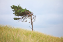 Lonely Tree Formed By Wind On ...