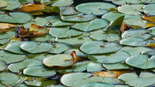 Densely Packed Lily Pads On A Pond Close View