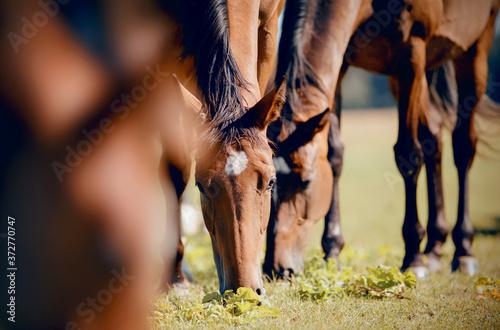 Fototapeta A herd of horses grazing on the field.