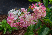 Bright Blooming Rosy Pink French Hydrangea Flowers (hydrangea Macrophylla) In A Sunny Ornamental Garden. Also Called Smooth Hydrangea.