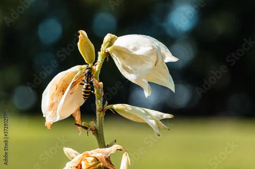 Obraz na plátně Paper Wasp on a Wilting Flower
