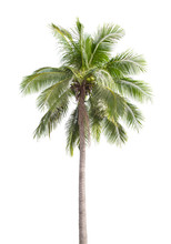 Coconut Tree Isolated On White.