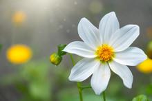 Beautiful White Cosmos Flower ...