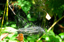 A Cobweb In The Sun Hanging Be...
