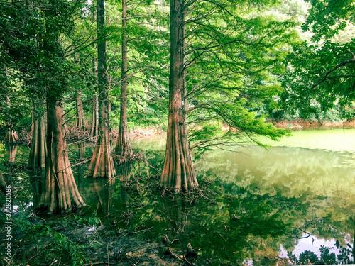 Fotografie, Obraz 湖に木の森