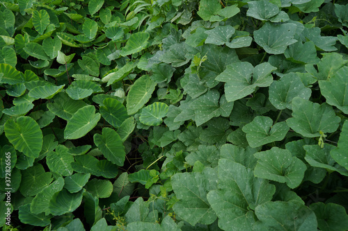 Beautiful top view of the taro root fields Fototapet