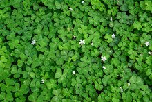 Shamrock (oxalis) Field With B...