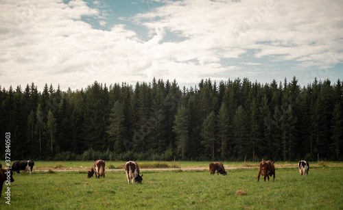 Fotografie, Obraz cows on a meadow during the summer in Finland