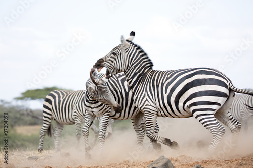 Obraz na plátně Zebras (Equus quagga) fighting near a water hole - Kenya