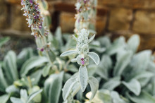 The Stachys Byzantina Plant Is Covered With Silky-lanate Hairs