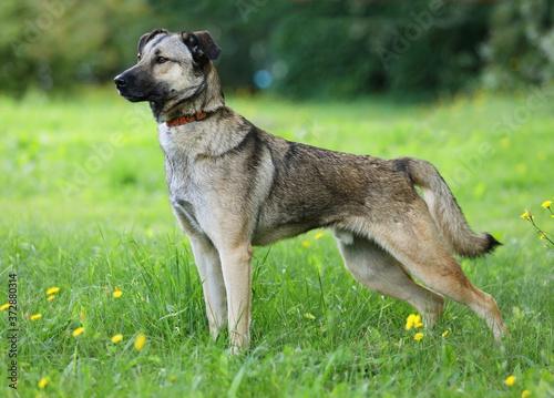Nice mongrel dog standing outdoors Fototapete
