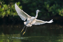 Snowy Egret Wading In Shallow Edge Of Lake Looking For Fish