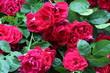 Piękne róże kwitnące na krzewie w ogrodzie botanicznym