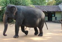 Elephant Whit Chain.