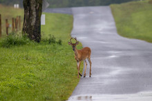 Yearling Buck On Country Road