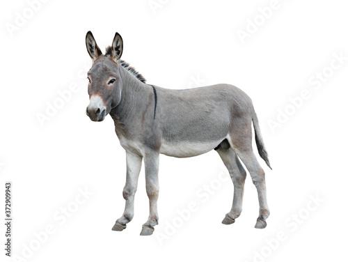 Photo Donkey isolated on white background.