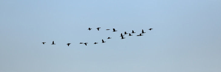 a flock of migratory birds flies by the sea
