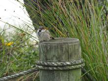 Closeup Of A Sparrow On A Log ...