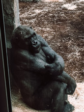 Gorilla In The Zoo