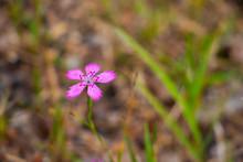Pink Forest Flower 2