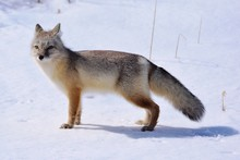 Corsac, Or Steppe Fox (Vulpes Corsac) Is A Predatory Mammal That Stands In The Steppe In Early Spring.
