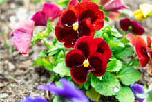 Magnificent Velvet Blooming Red  Flowers Of Viola Violets, Planted In Ground Garden On Plot Of Land In Flowerbed. Garden Decoration, Landscaping, Planting Plants And Seedlings, Country Life