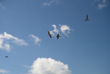Four Pelicans In Flight Over T...