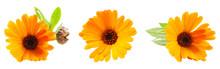 Closeup Of Calendula Officinal...