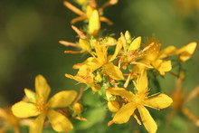 Unusually Beautiful Golden-yellow Flowers Of St. John's Wort In The Magic Sunlight On A Summer Day On A Blurred Forest Background.