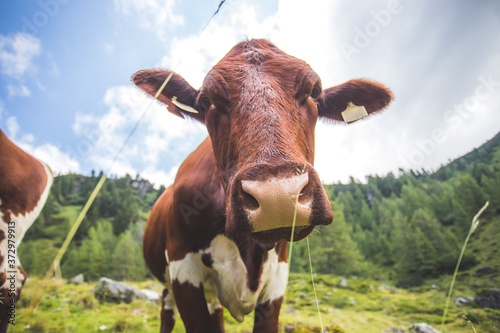 Wide angle of curious Brown cow in the alpine meadow Fotobehang