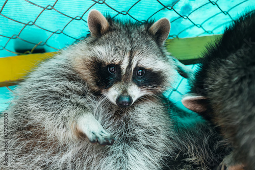 Photo Cute happy raccoon in cage