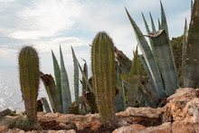 Tropical Cactus And Aloe Growing On The Seashore. Menorca, Baleares, Spain