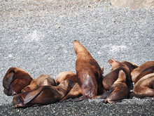 Closeup Shot Of Sea Lions Lyin...