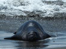 Adorable Elephant Seal Relaxin...