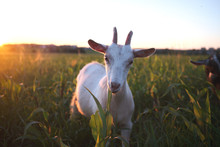 Goat Grazes In The Meadow And ...
