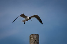 A Laughing Gull Landing On A W...